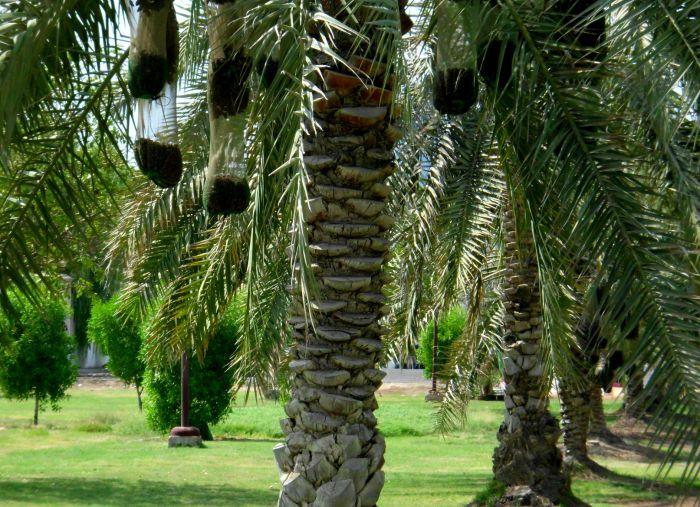 Date bags in Abu Dhabi