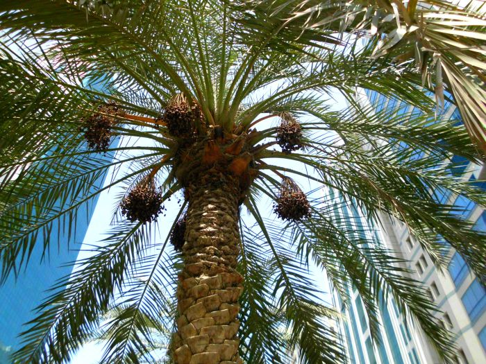 Date palm in Abu Dhabi