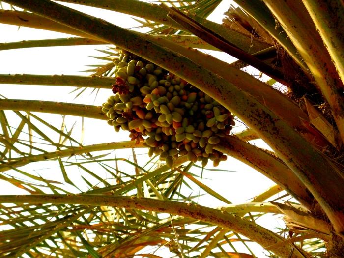 Unripe dates