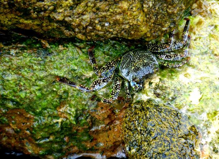 Crab Aruba