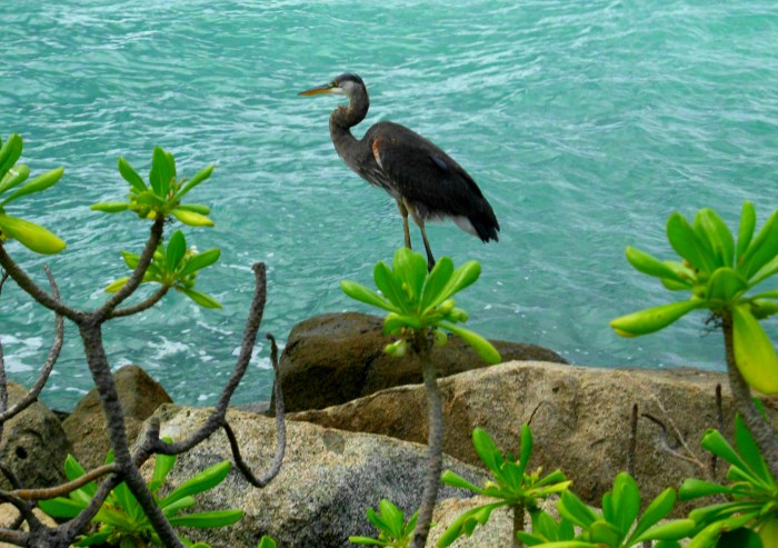 Heron Aruba
