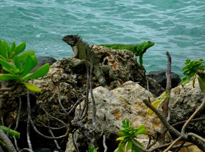 Iguanas Aruba