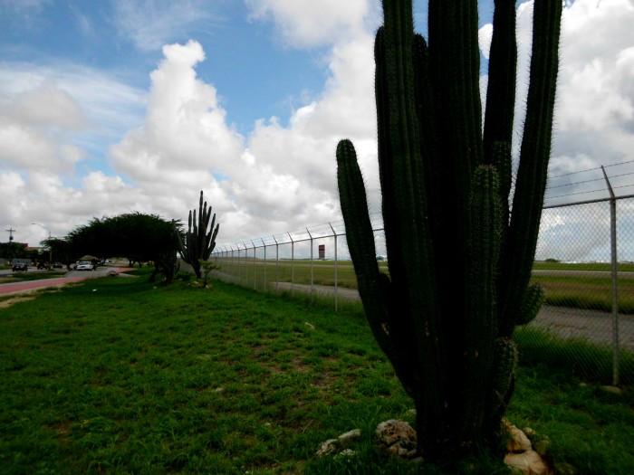 Cactus in Aruba