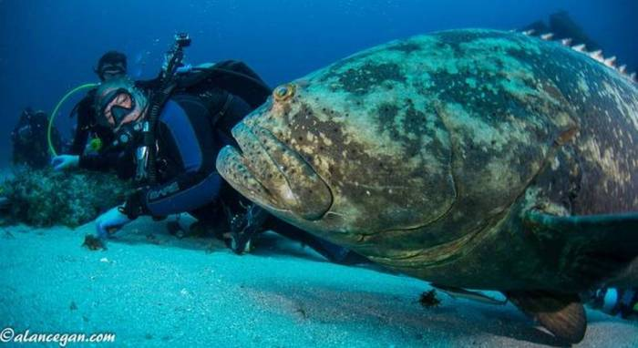 Divers in Florida encounter a goliath grouper (photo via Miami Herald, courtesy of Alan C. Egan Photography)