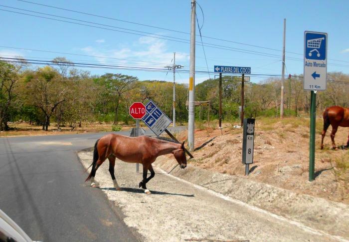 horses crosses road Costa Rica