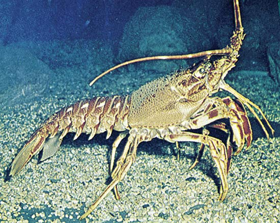Spiny lobster (photo via Encyclopaedia Brittanica)
